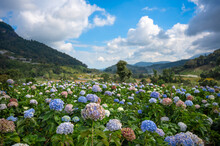 Beautiful Hydrangea Blooms Fields In The Valley At Doi Inthanon National Park, Chiang Mai, Thailand.