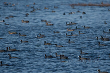 American Coots Across The Water In A Refuge
