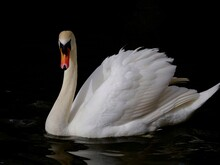 Mute Swan In Thames River On The Dark Background.