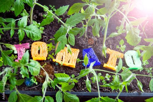 Fototapeta Tomato seedlings near the window, the inscription tomato obraz na płótnie