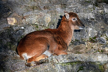 Young Moufflon On The Rock. Latin Name - Ovis Aries Orientalis