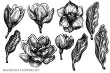 Vector Set Of Hand Drawn Black And White Magnolia Flowers
