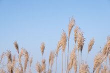 Low Angle To Capture Silvergrass With Blue Sky Background