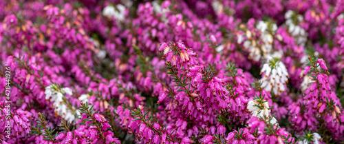 fioletowe i białe wrzośce wiosenne