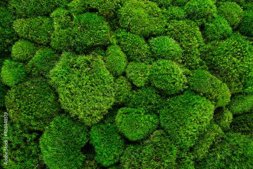 Fototapeta Beautiful decorative bun moss texture.