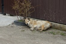 One Large Gray Stray Dog Lies On The Ground In The Street By The Brown Dirty Metal Wall Of The Fence