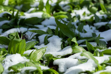 Tasty Wild Garlic Covered With Sno
