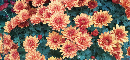 Fotografering Orange and red chrysanthemum flowers background