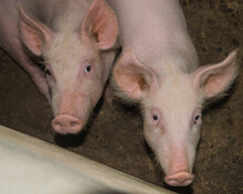 Three Month Old Pigs Raised On A Farm In Panama