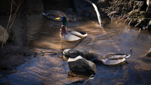 Two Colorful Ducks Swimming Around In A Small Dirty Pond With Rocks