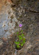 Flor Silvestre  De Color Rosa, Creciendo En La Roca