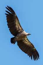 A White Backed Vulture Circling In The Air Over A Carcass, Seen On A Safari In South Africa