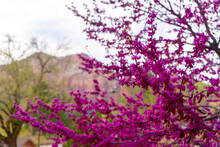 Bright Pink Flowers On Tree Branch In Mountains