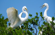 2 Great White Egrets Greeting Each Other In The Tree Tops