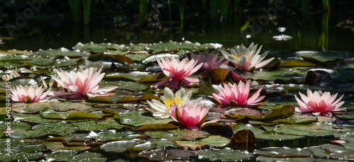 Canvas Print Blossom pink water lily or lotus flower Marliacea Rosea in garden pond