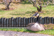 A Canada Goose Is Relaxing At Early Spring Time