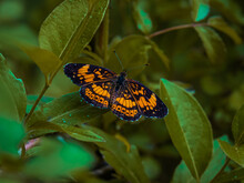 Single Silvery Checkerspot Butterfly Perched On Green Leaves