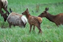 Newborn Elk Taking First Steps