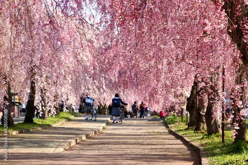 日中線のしだれ桜(福島県・喜多方市) Fototapete