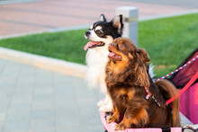 Portrait Of Two Brown And While Chihuahua Lap Dog Animal Sitting In Trolley. Casual Relax Blurred Grass Background