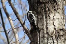 Busy Woodpecker, Gold Bar Park, Edmonton, Alberta