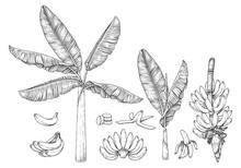 Banana Tree Fruit And Blossom Hand Drawn Retro Illustration