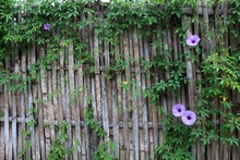 Morning Glory On The Fence
