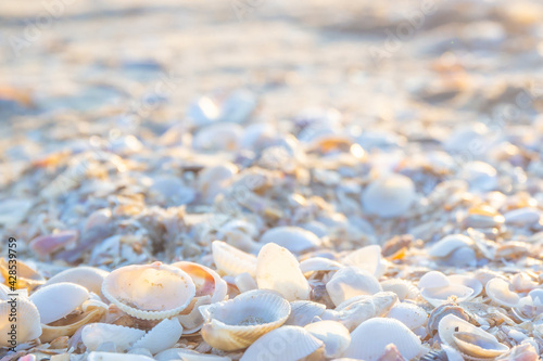 Fototapeta Shells or Conch on sea beach in the morning.