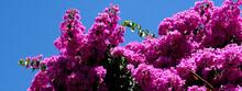 Large Bush Of Fuchsia-colored Flowers, Deep Blue Sky.