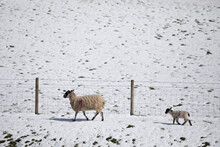 Sheep In Winter Walking With Her New Born Lamb, North Yorkshire, England, United Kingdom