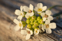 Close-up Shot Of White Alyssum Flowers Bouquet On The Wood