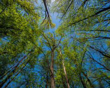 Tops Of Tall Trees Covered With Young Green Foliage Against The Blue Sky.