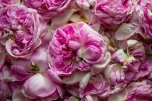 Tea Rose Petals Are Dried Indoors.
