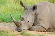 canvas print picture Portrait of a white rhinoceros (Ceratotherium simum) resting in natural habitat, South Africa.