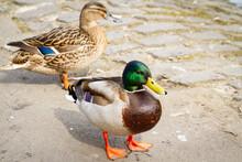 Male And Female Mallard Ducks Standing Beside A Lake