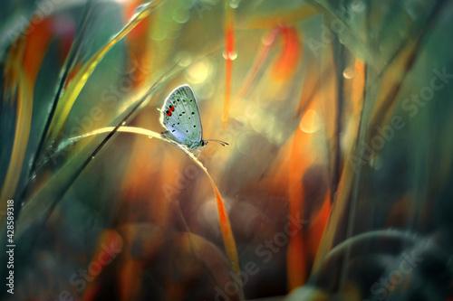 Fototapeta Motyl Modraszek  Ikar (Polyommatus icarus) obraz
