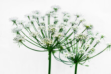 Umbrella-like Hemlock Or Conium Maculatum Flower, Isolated On Light Background. Inflorescence Of A Toxic Plant Close-up