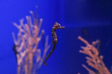 Seahorse Swims In Blue Water On A Background Of Corals