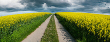 Panorama Of Rapeseed Field With Road