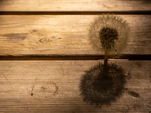 Dandelion On A Wooden Table At Sunset On A Spring Evening
