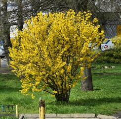 kwitnacy krzew forsycji, wiosna