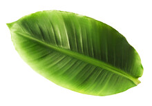 Fresh Greeen Banana Leaves