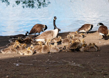 Geese And Goslings Grazing On The Lake Shore In The Sun