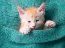 Maine Coon Kitten On Couch Under Knitted Blanket. Baby Cat Sleeping, Sleep And Cozy Nap Time. Domestic Animal. Home Pet An Young Cute Funny Kittens Cats At Home.