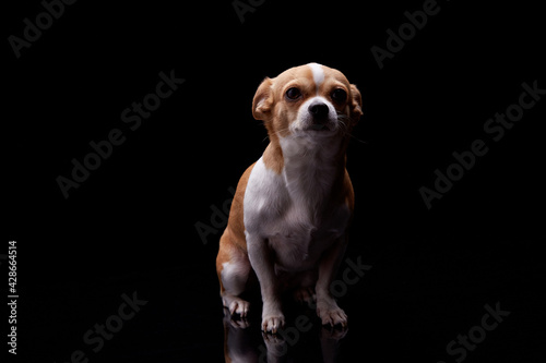Tablou Canvas Small dog white brown color furry sitting in black background studio commercial for doggie food feed puppy emotion faithful pedigree champion animal pets