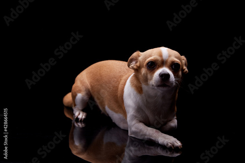 Small dog white brown color furry sitting in black background studio commercial for doggie food feed puppy emotion faithful pedigree champion animal pets Fototapet