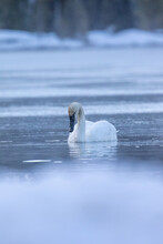 Trumpeter Swan In Yellowstone National Park
