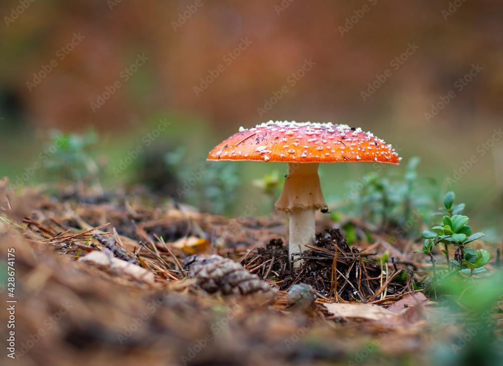 czerwony grzyb muchomor - obrazy, fototapety, plakaty