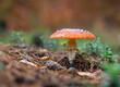czerwony grzyb muchomor