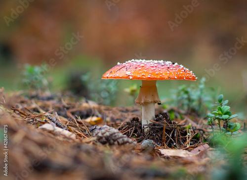 Obraz czerwony grzyb muchomor - fototapety do salonu